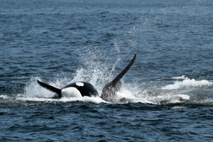 Male orca If you would like a copy of this photo please contact Mr. Pat Hathaway